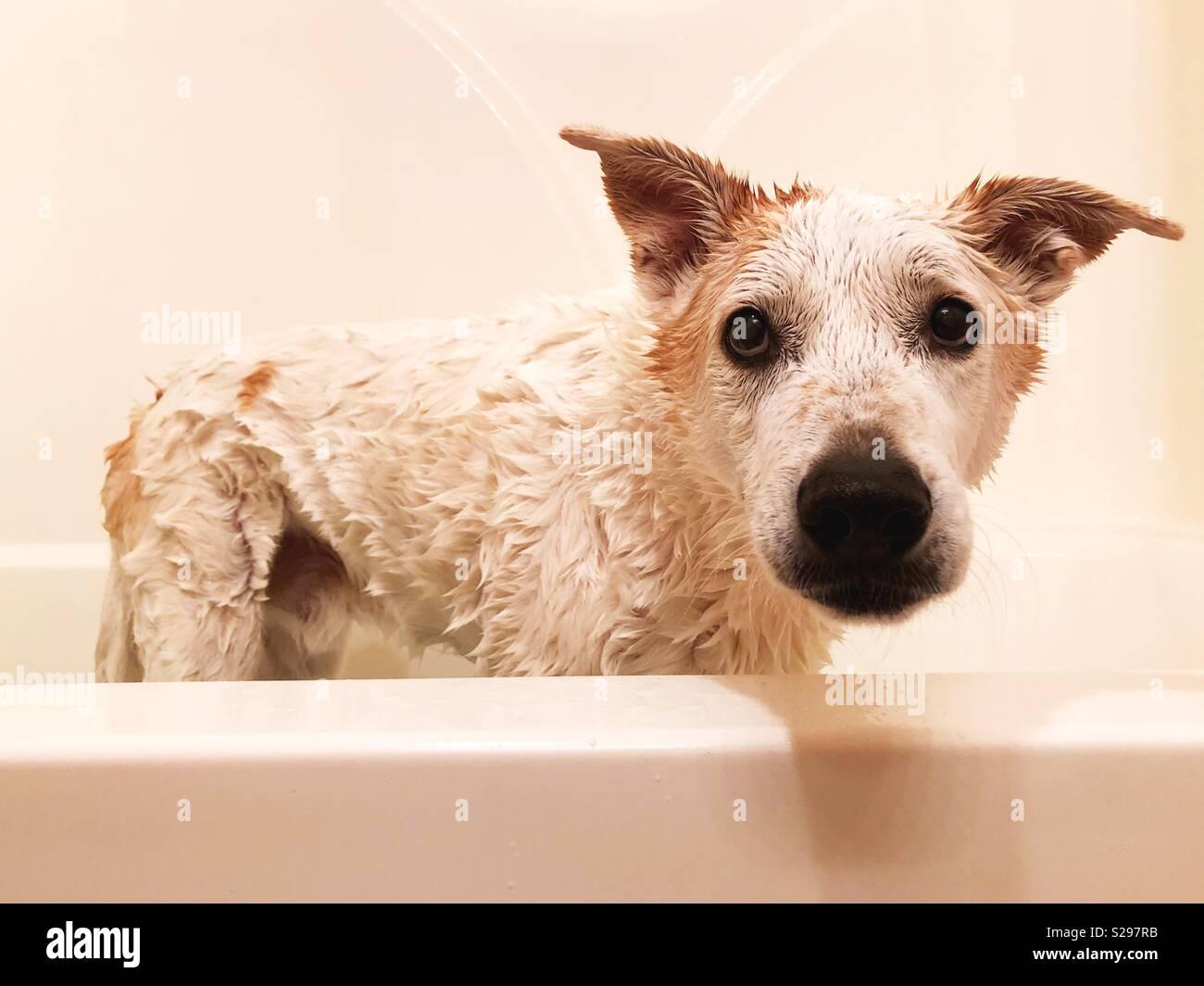 Ein Hund In Einer Badewanne Stockfoto Bild 311219647 Alamy
