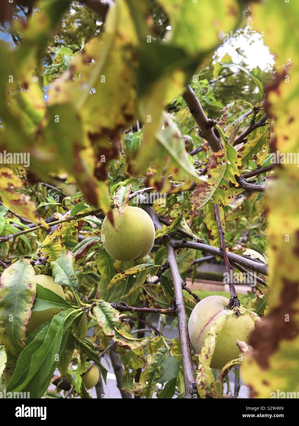 Pflaume in einem Baum von der Straße Stockbild