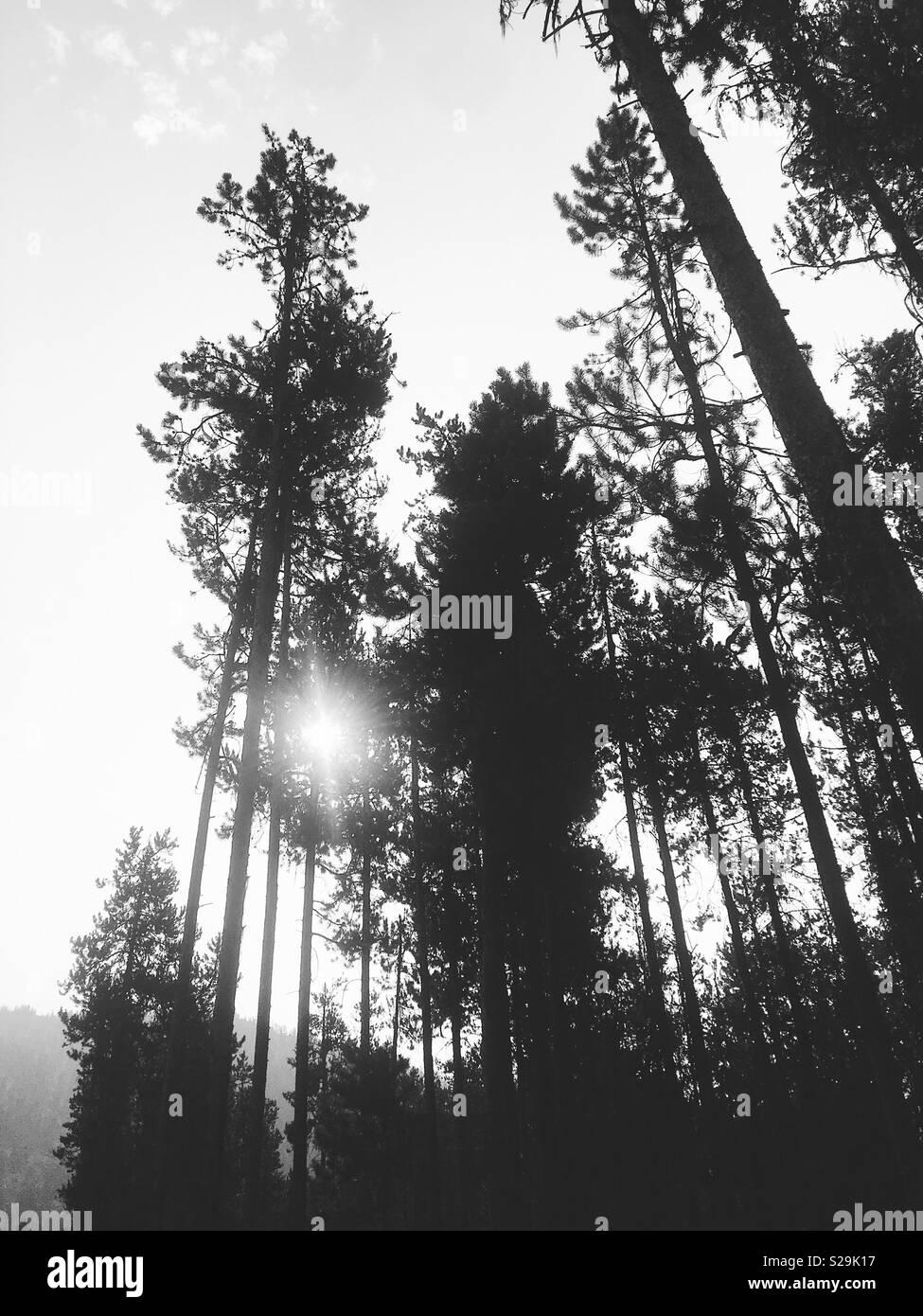 Black Und White Pine Tree Landschaft Lodgepole Kiefern Erreichen In