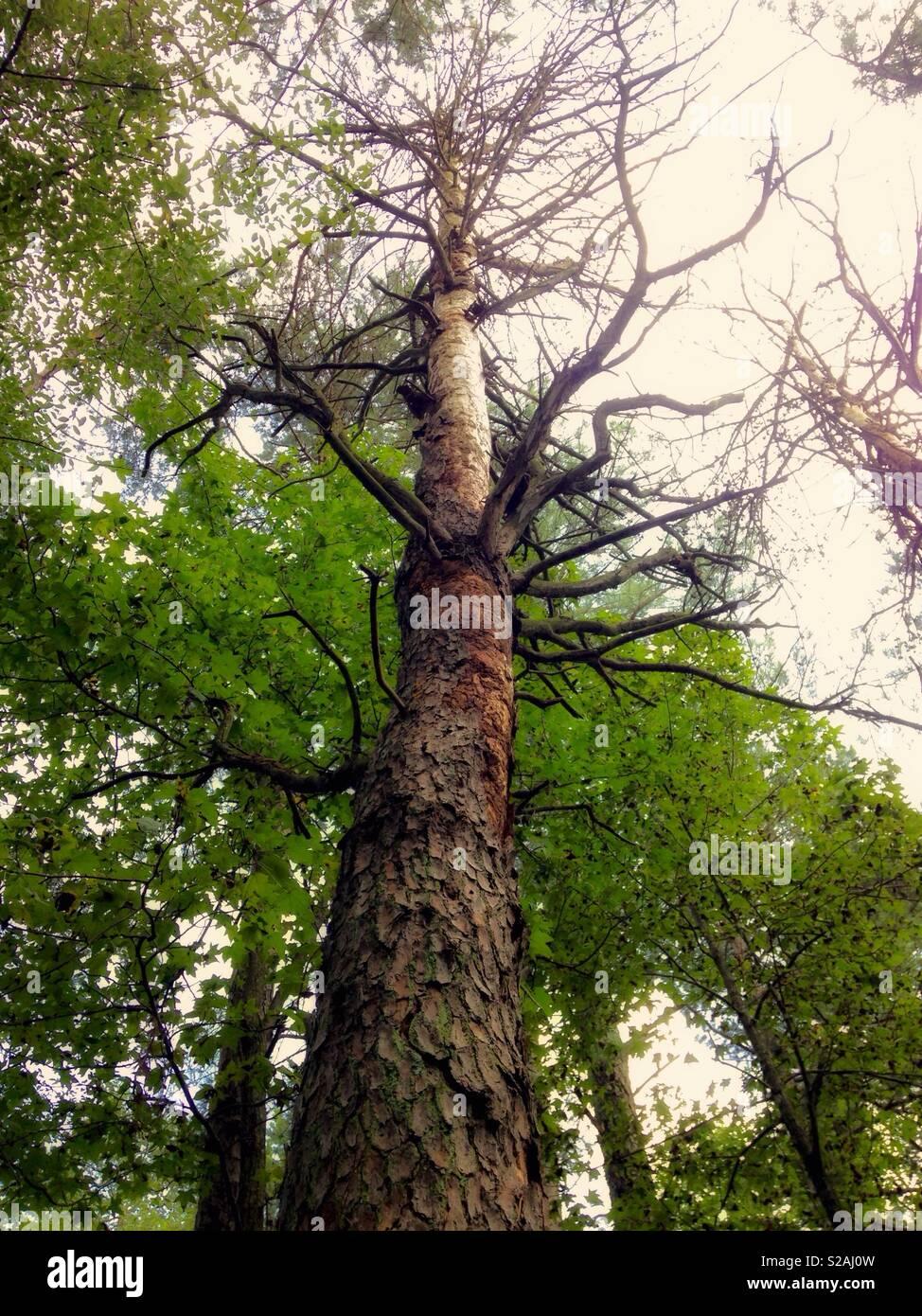 Nach oben Blick auf einen toten Baum mit live, grüne Bäume im Hintergrund Stockbild