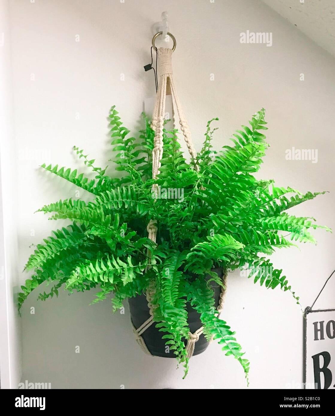 Farn Fürs Badezimmer | Hangende Farn Im Badezimmer Stockfoto Bild 311258528 Alamy