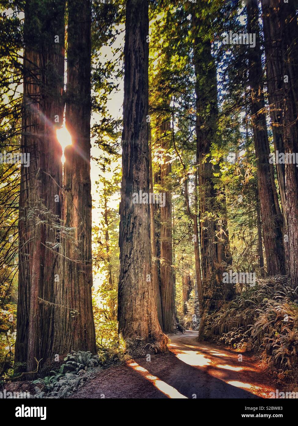 Straße durch den Redwood Forest. Stockbild