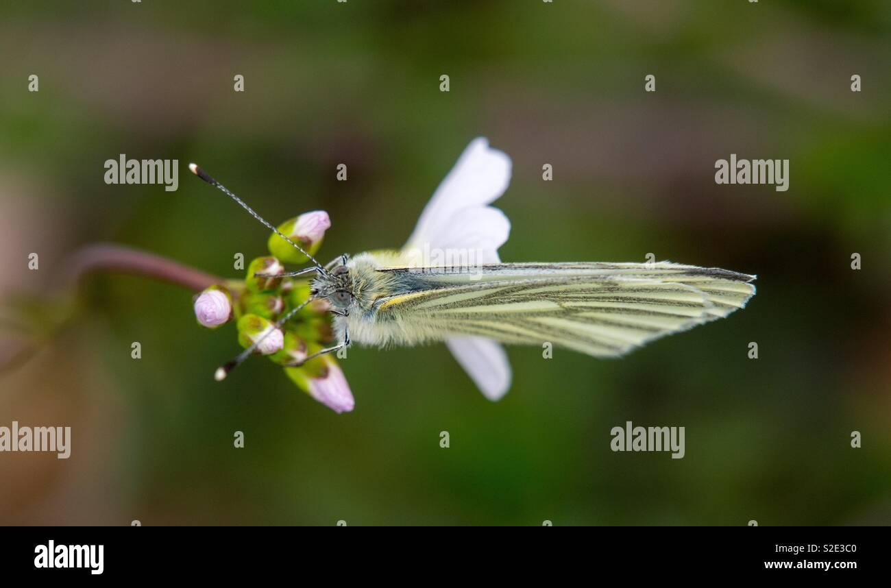 Schmetterling von oben mit Flügeln gesehen geschlossen Stockbild