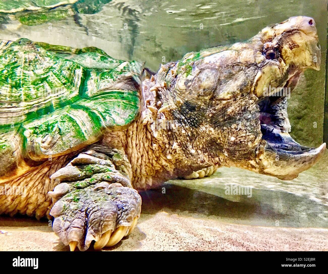 Alligator turtle Aufschnappen mit weit geöffneten Mund und spitzen Schnabel, Algen, Shell und Fuß mit großen Krallen Stockbild