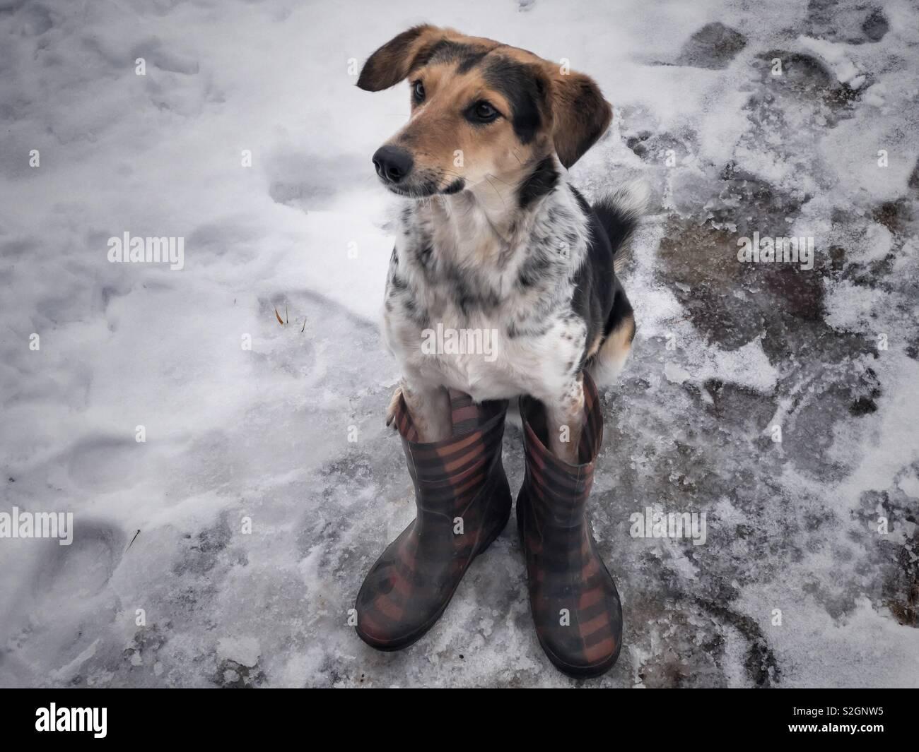 Gemischte Rasse Jagd Hund sitzt auf einem nassen Schnee tragen menschlichen Wellingtons Stockbild