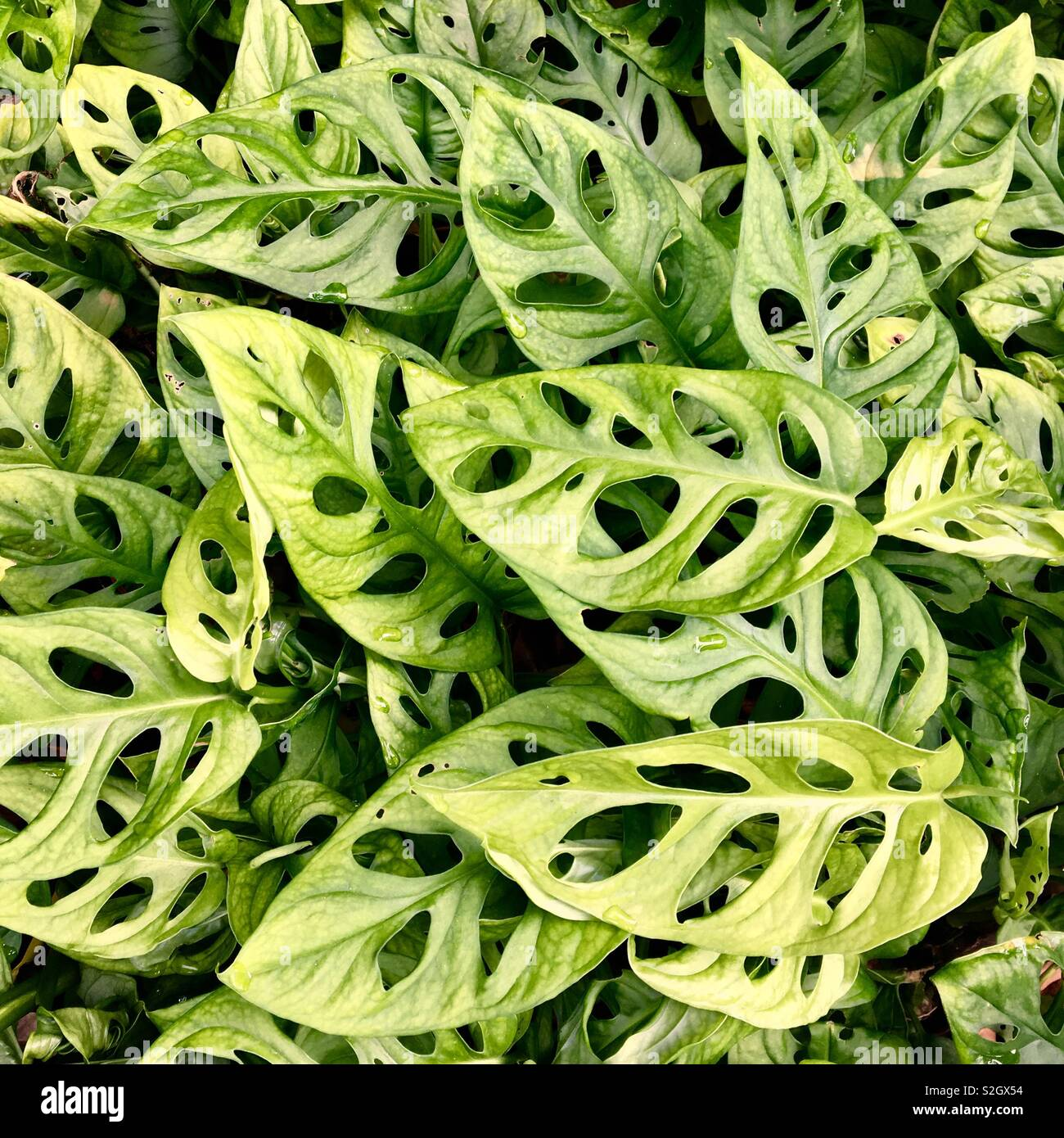 Monstera Obliqua Pflanzen im tropischen Garten in Singapur Stockfoto