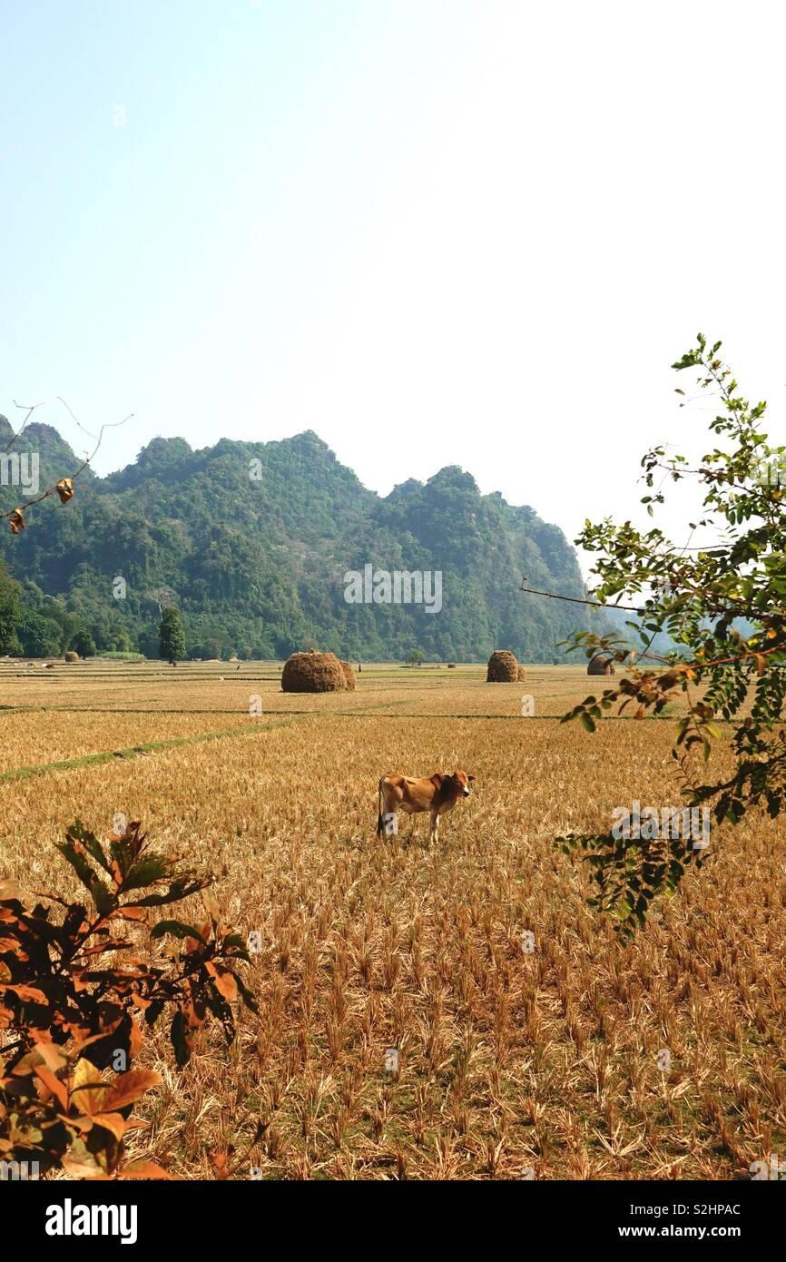 Impressionen der burmesischen Alltags: ricefield, golden und geerntet, mit einer Kuh und einige Hügel im Hintergrund. Hochformat Stockbild
