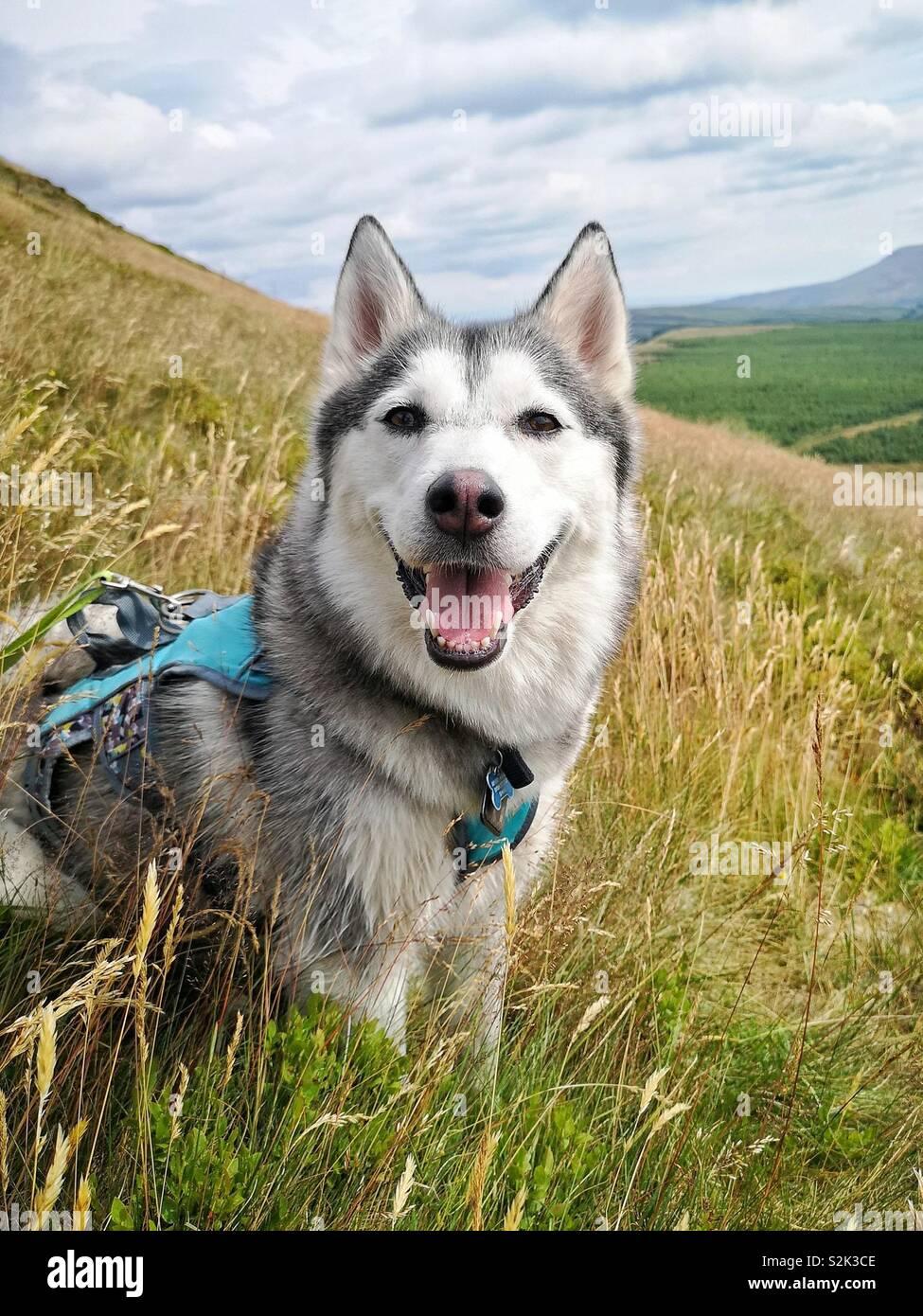 Husky Hund im Feld in den Hügeln von Schottland Stockbild