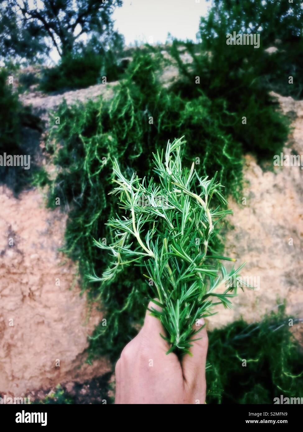 Frisch gepflückte wilden Rosmarin Stockfoto