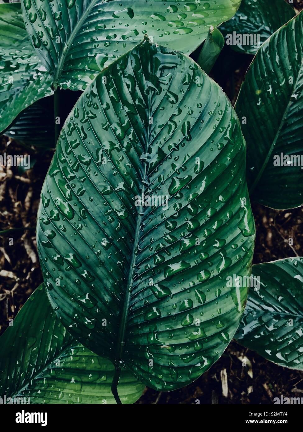 Blätter frisch gewaschen. Stockfoto