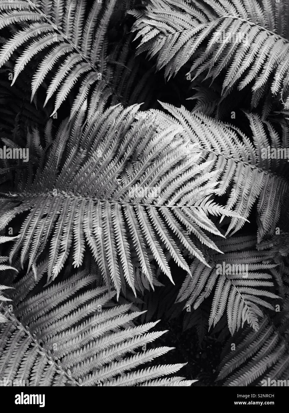 Farn Blätter Stockfoto