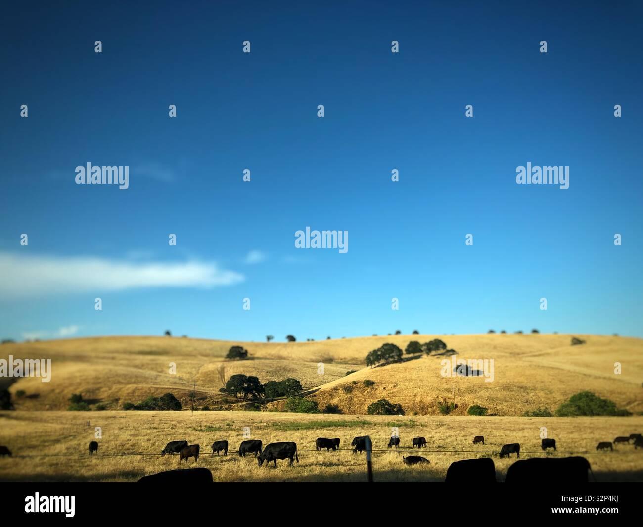 Feld mit Kühen und Himmel entlang Marsh Creek Road in der Nähe des Mount Diablo in Kalifornien. Stockfoto
