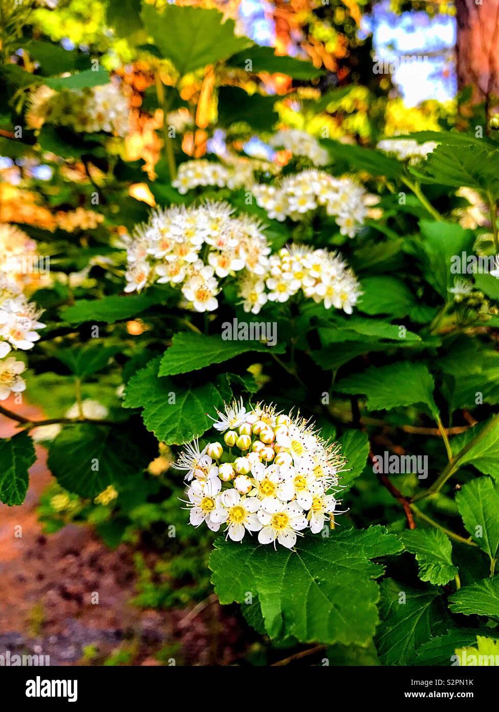 Blühenden Busch Stockbild