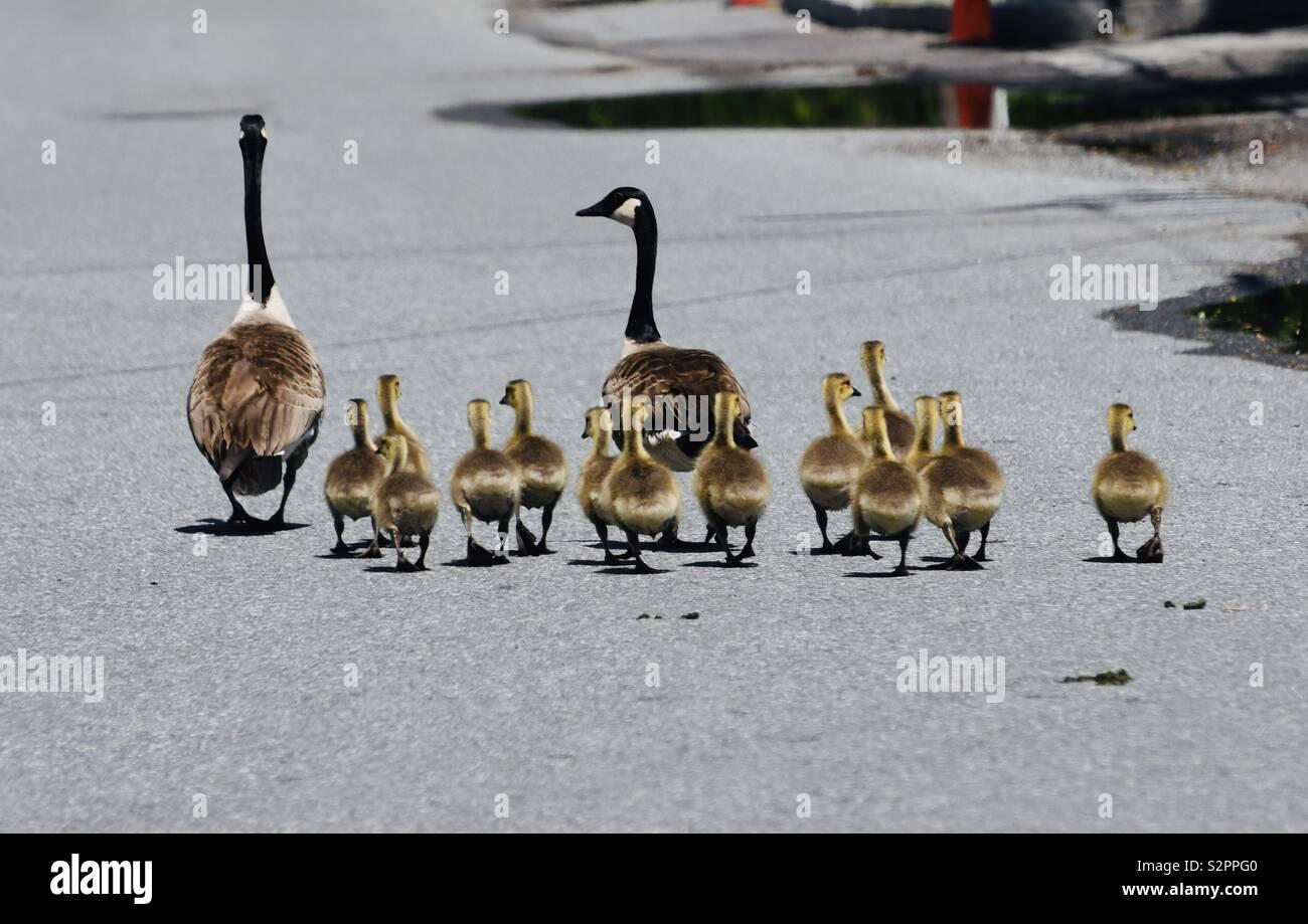 Familie der kanadischen Gänse zu Fuß auf der Straße Stockbild