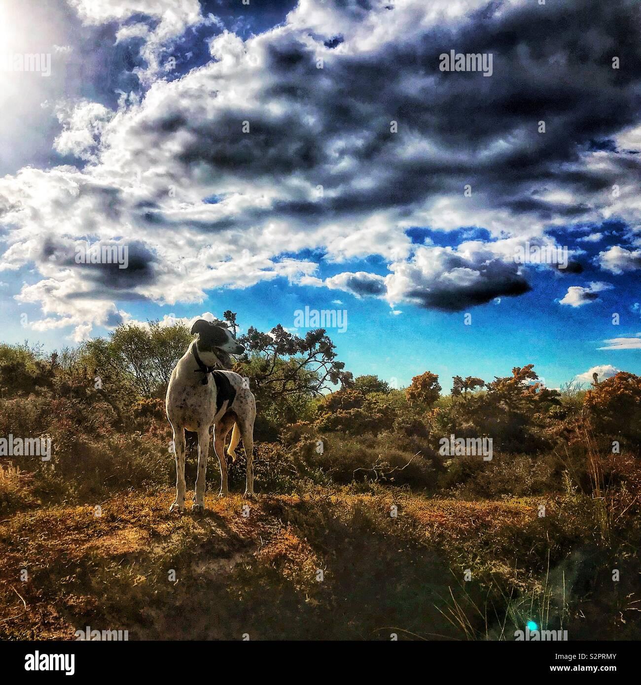 Lurcher Hund in einer ländlichen Szene Stockbild