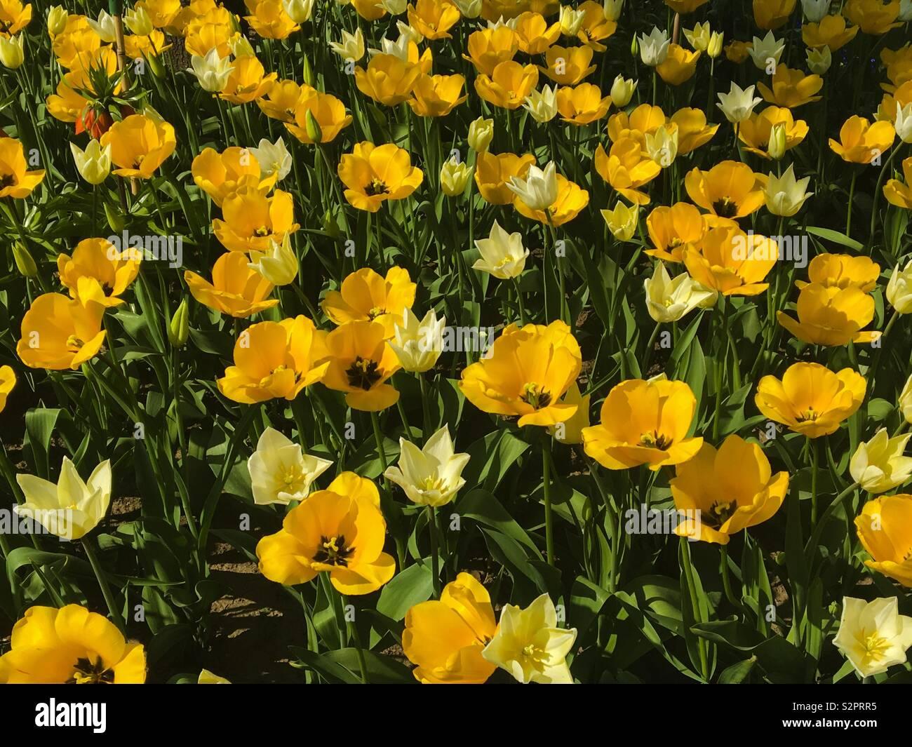 Ein Feld der helle gelbe Sommerblumen. Stockbild