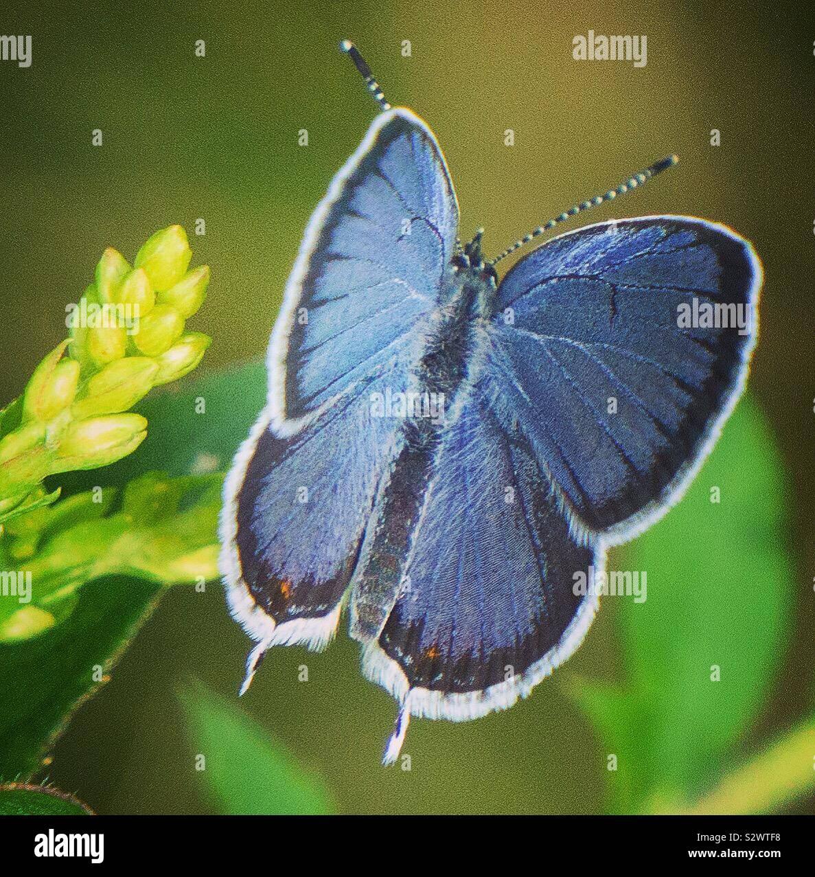 Östlichen angebundene - Blau Stockfoto