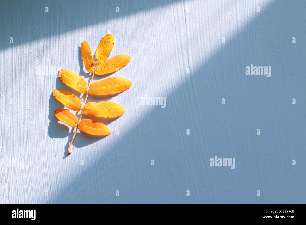 Vogelbeere gelb Blatt mit Platz für Text Stockfoto