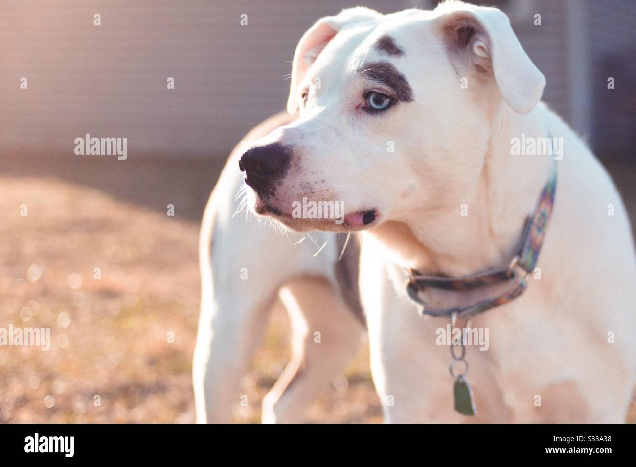 Amerikanischer Bulldogge Stockfotos Amerikanischer Bulldogge