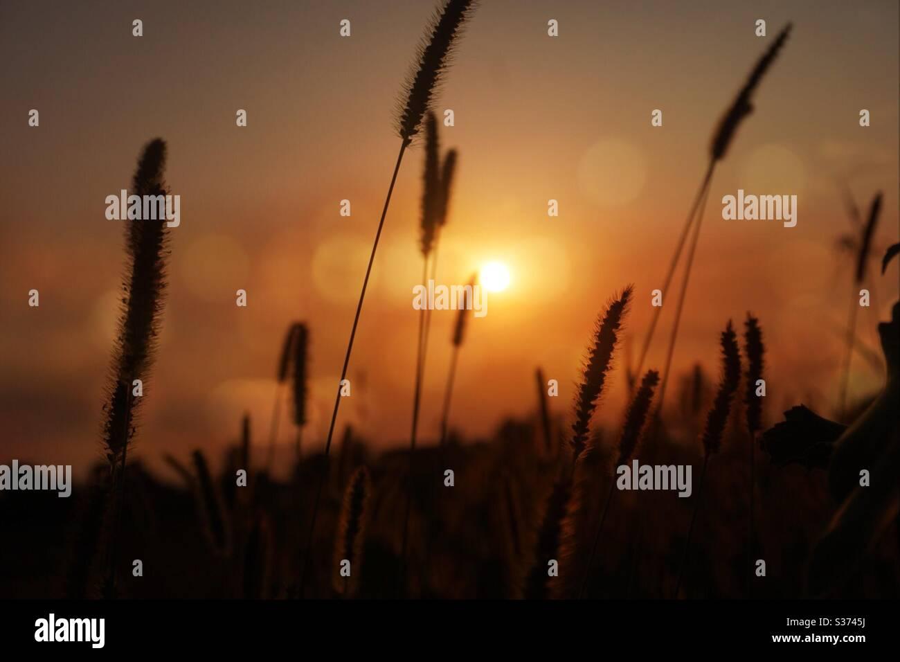 Ähren aus Weizen gegen das Licht, die kleinen Fäden reflektieren das orange Licht des Sonnenuntergangs Stockfoto