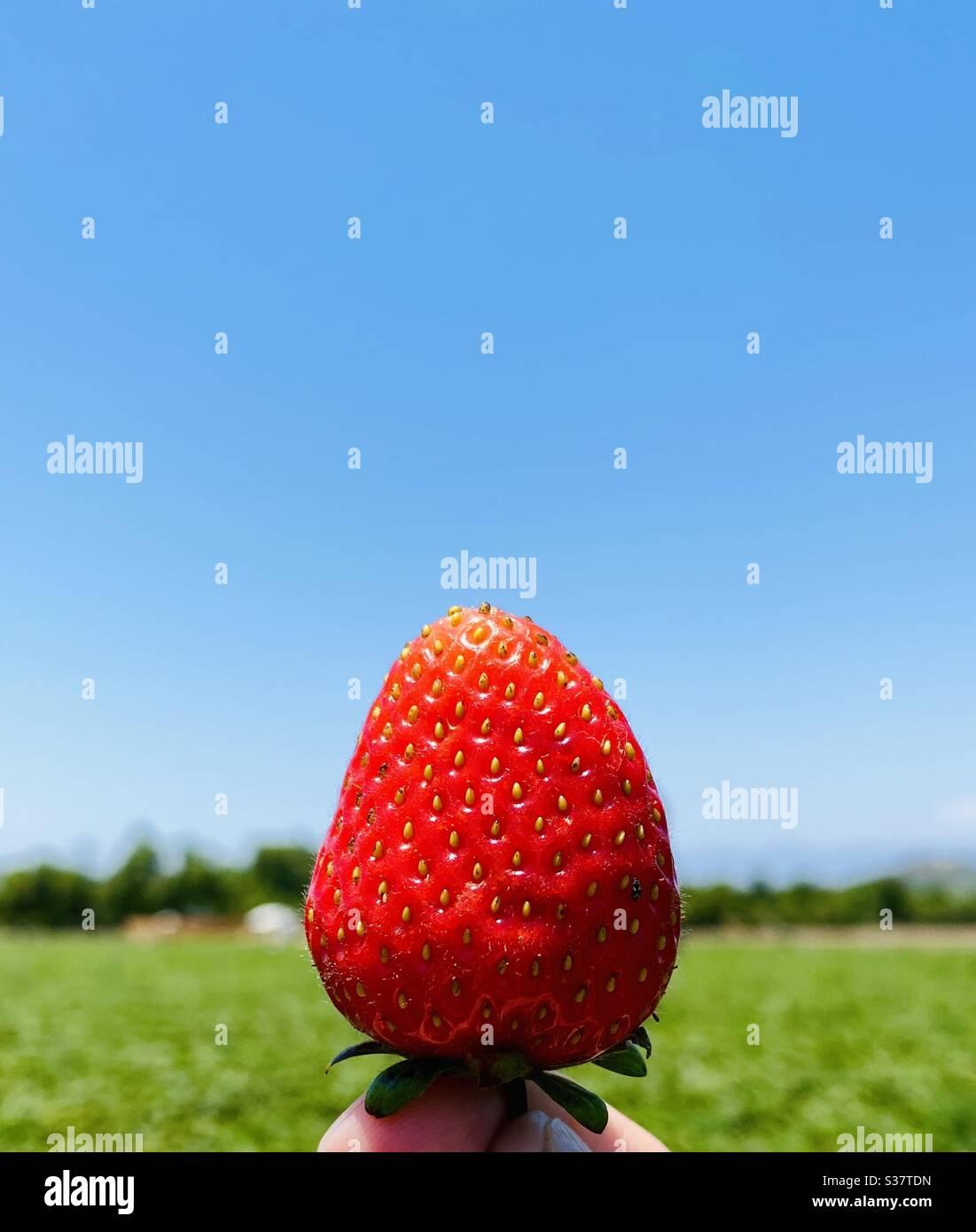 Eine Person, die eine frisch gepflückte Erdbeere hält. Moorpark, Kalifornien, USA. Stockfoto