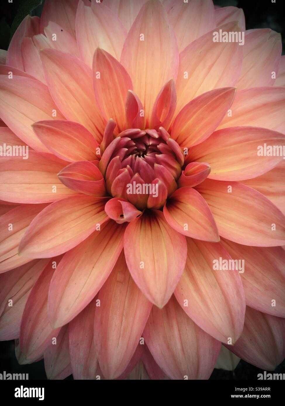 Nahaufnahme einer rosa orange gelben Dahlia Blume, aufgenommen in London, England. Stockfoto