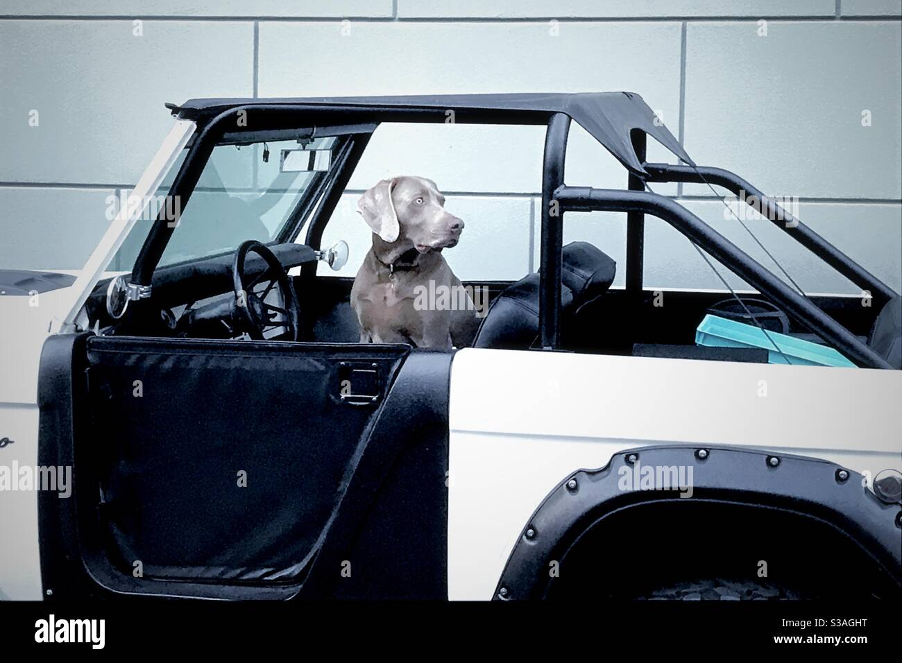 Weimaraner in einer Bronco Stockfoto