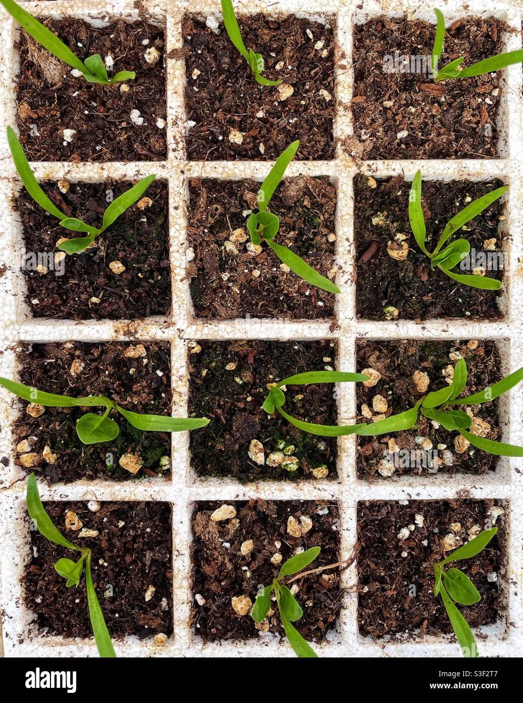 Draufsicht auf junge Spinatpflanzen. Stockfoto