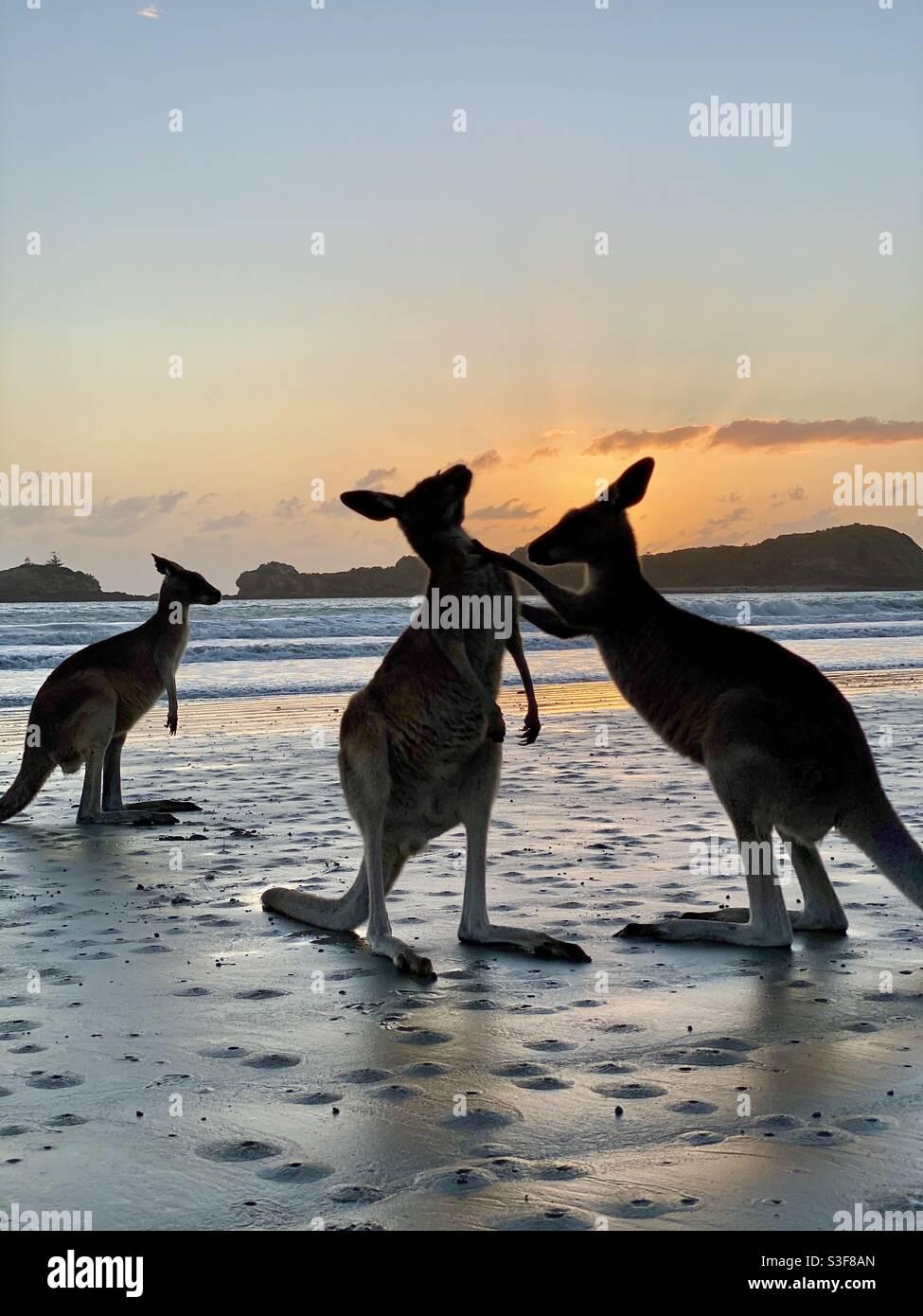 Kängurus, die am Strand bei Sonnenaufgang Uneinigkeit hatten, Cape Hillsborough, Australien. Stockfoto