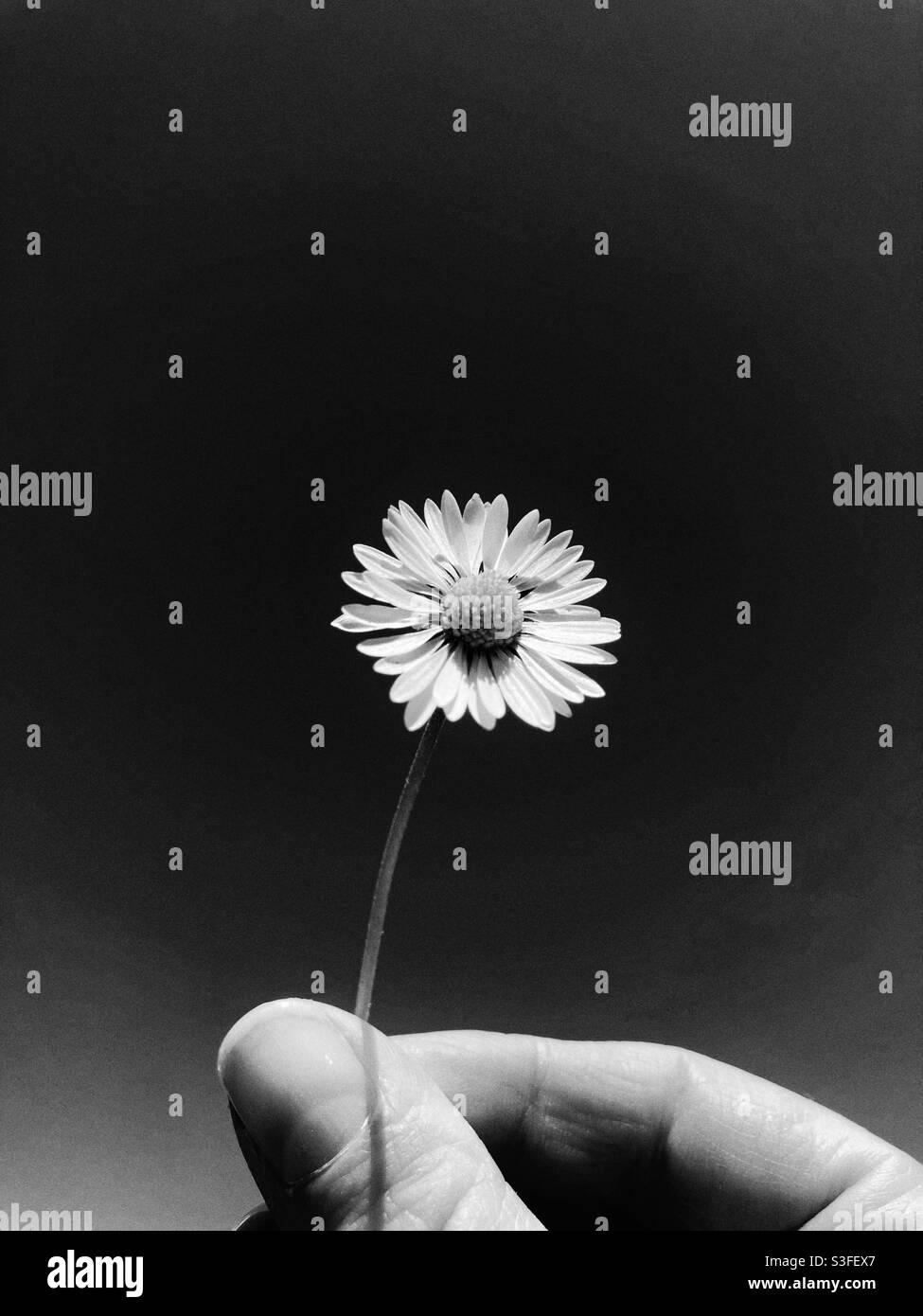 Schwarz-weiße Gänseblümchen, die in der Hand gehalten wird Stockfoto