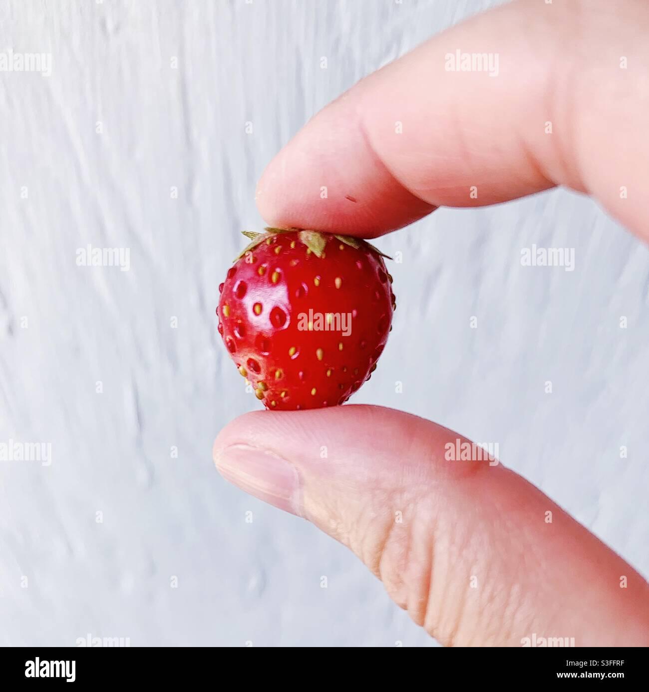 Winzigste, frischeste, leckerste, kleine Gartenerdbeere Stockfoto