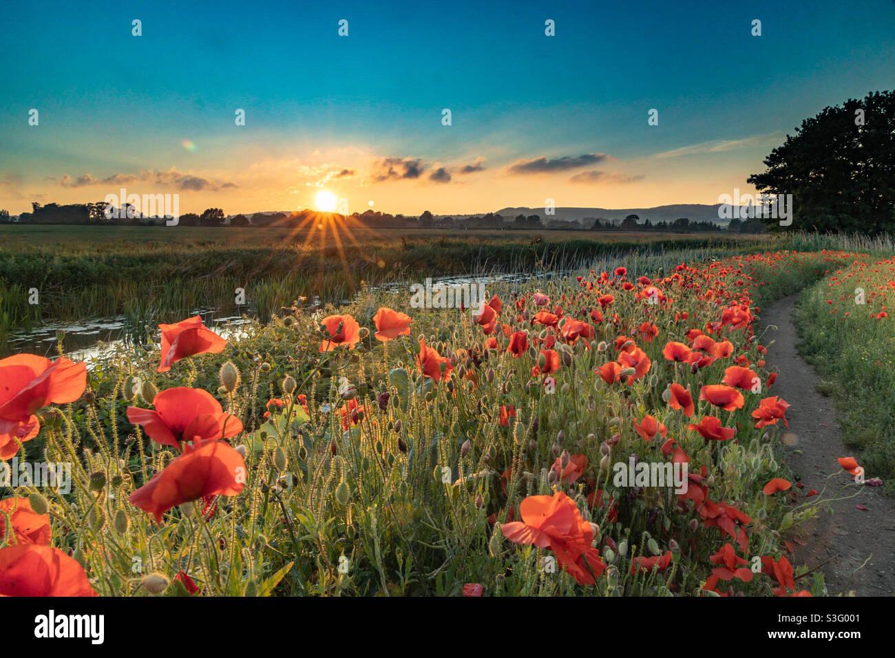 Mohnblumen bei Sonnenuntergang Stockfoto