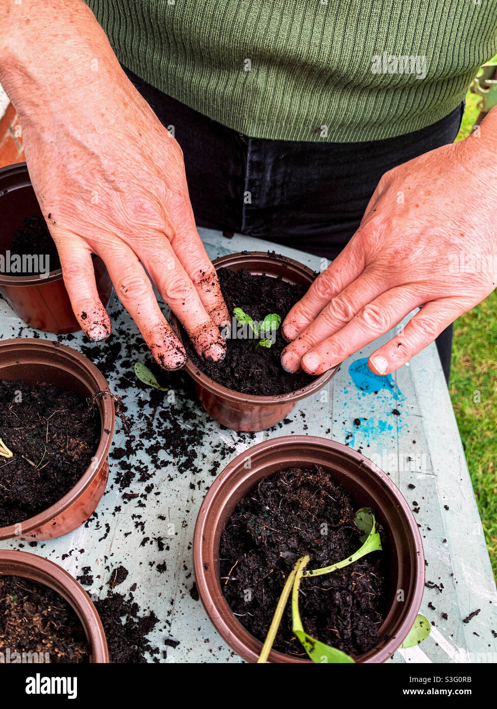 Dahlien, die aus dem repottierten Samen wachsen Stockfoto