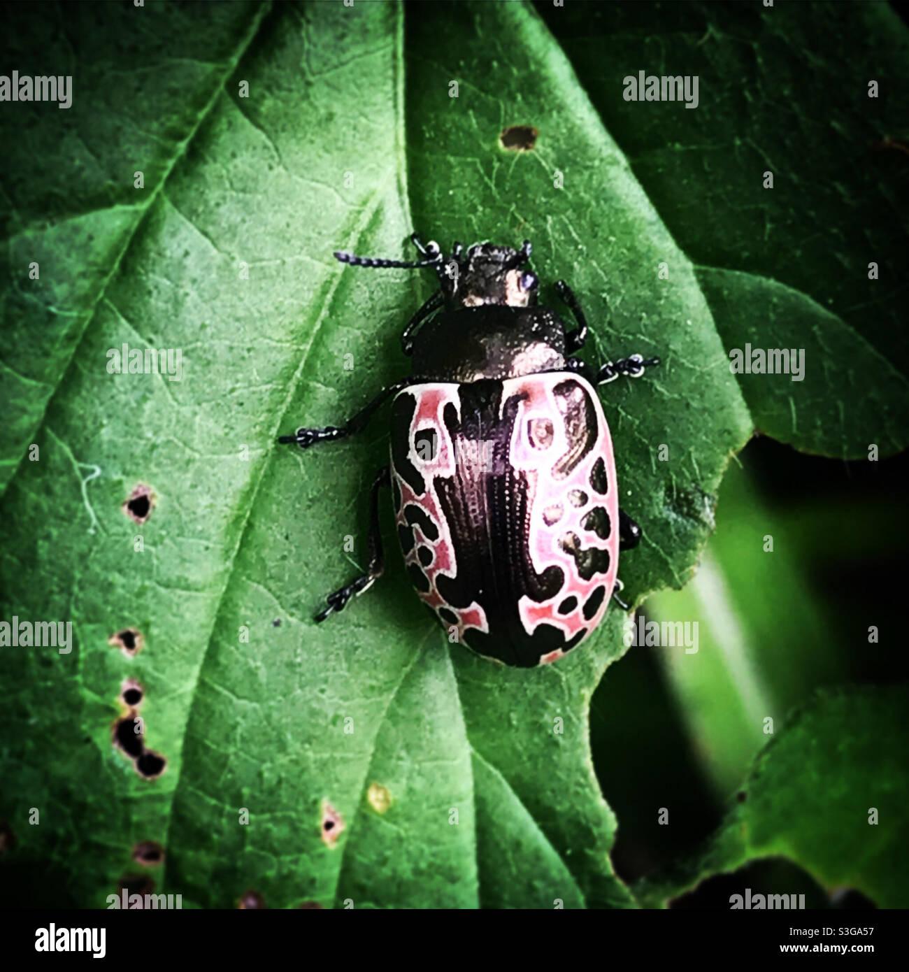Ein rosa Marienkäfer steht auf einem grünen Blatt in einem Wald in Mexiko Stockfoto