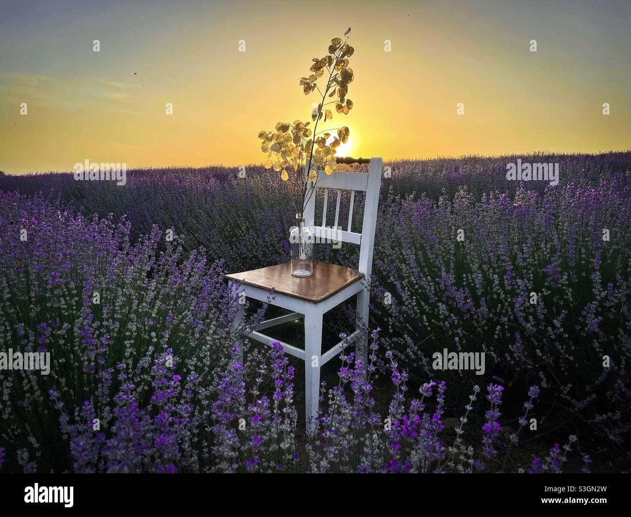 Holzstuhl in einem Lavendelfeld bei Sonnenuntergang Stockfoto