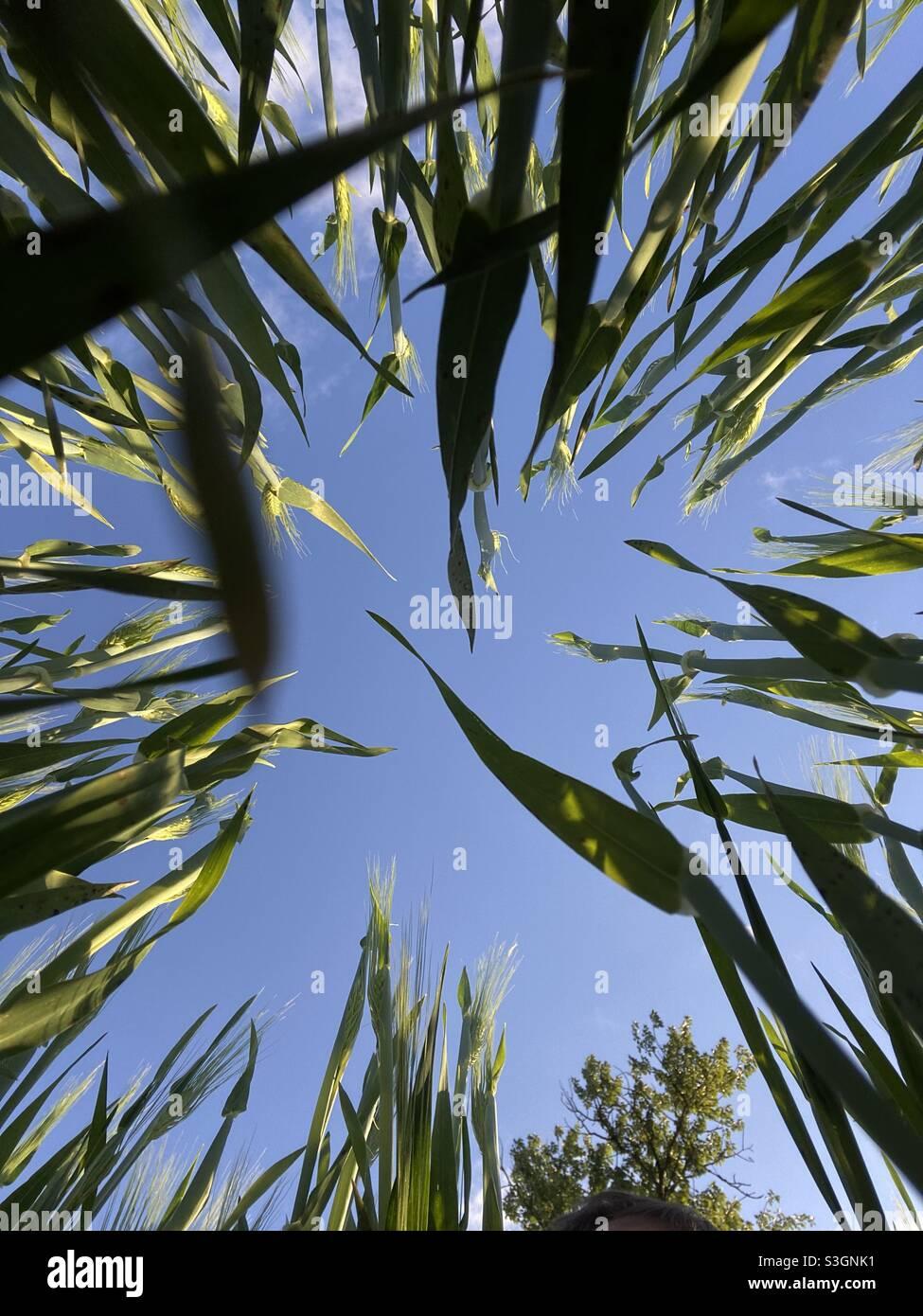 Blick vom Boden auf grünes Gras und blauen Himmel, landwirtschaftliche und ökologische, Ernte Stockfoto