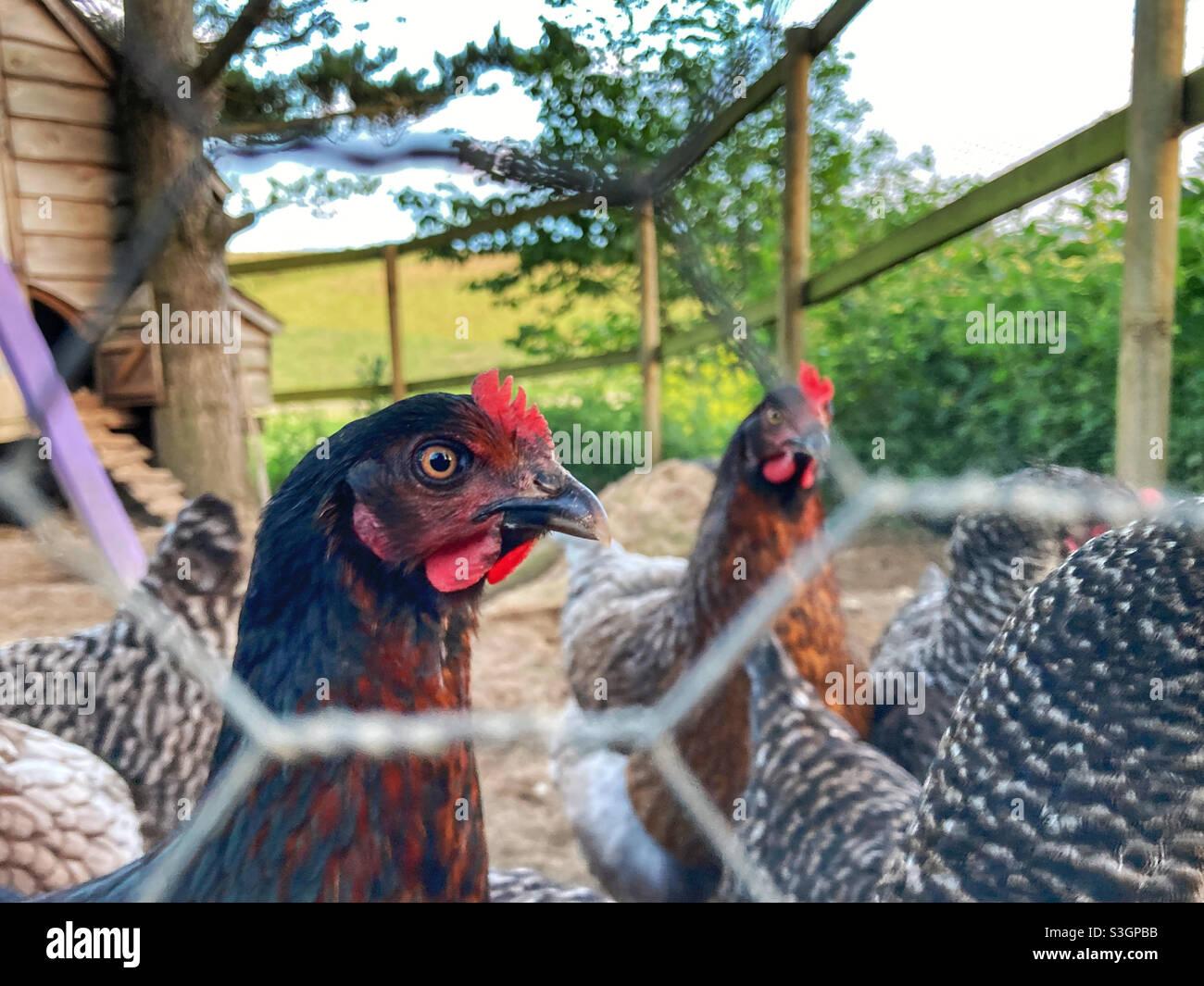 Hühner durch einen Drahtzaun Stockfoto