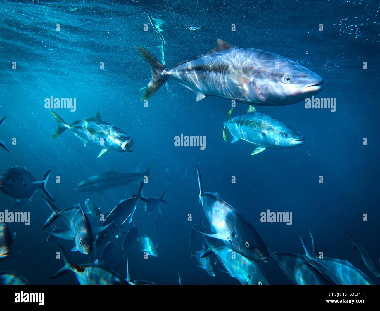 Unterwasseraufnahme des Gelbschwanzkönigs Seriola lalandi und des silbernen Trevalley Pseudocaranx georgianus, der zusammen schwimmt Stockfoto