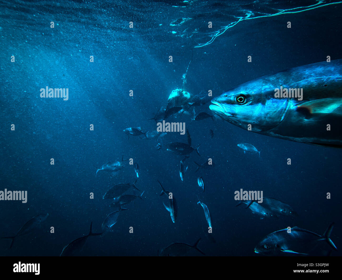 Unter Wasser Aufnahme des australischen Gelbschwanzkönigsfisches Seriola lalandi und des silbernen Trevally Pseudocaranx georgianus, der zusammen um einen Köder in tiefem Wasser schwimmt Stockfoto