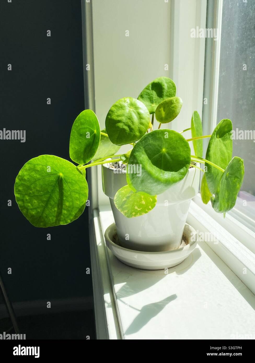 Eine Pilea peperomioides Pflanze auf einer Fensterbank. Stockfoto