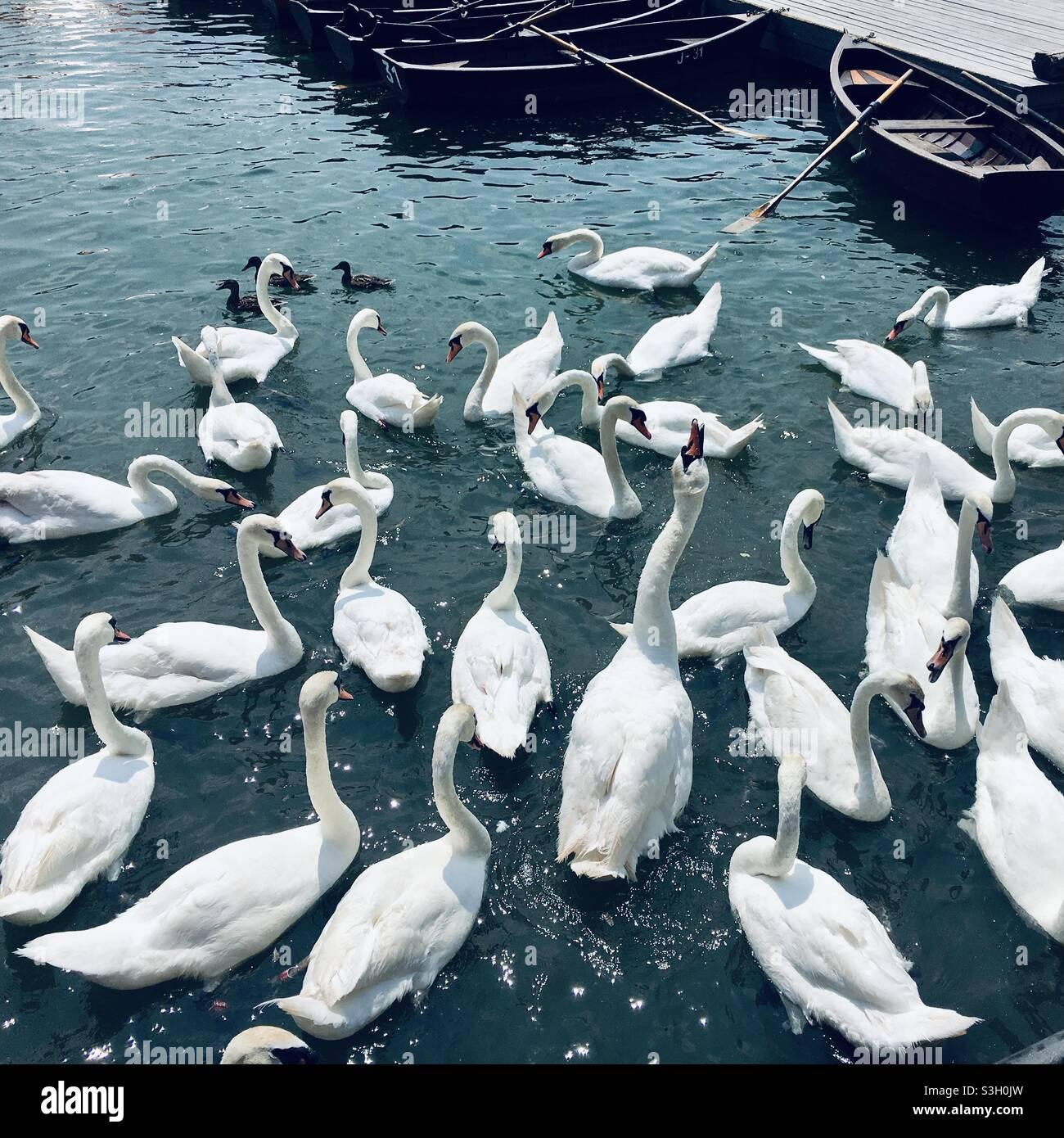 Wunderschöne Schwäne in einem See Stockfoto