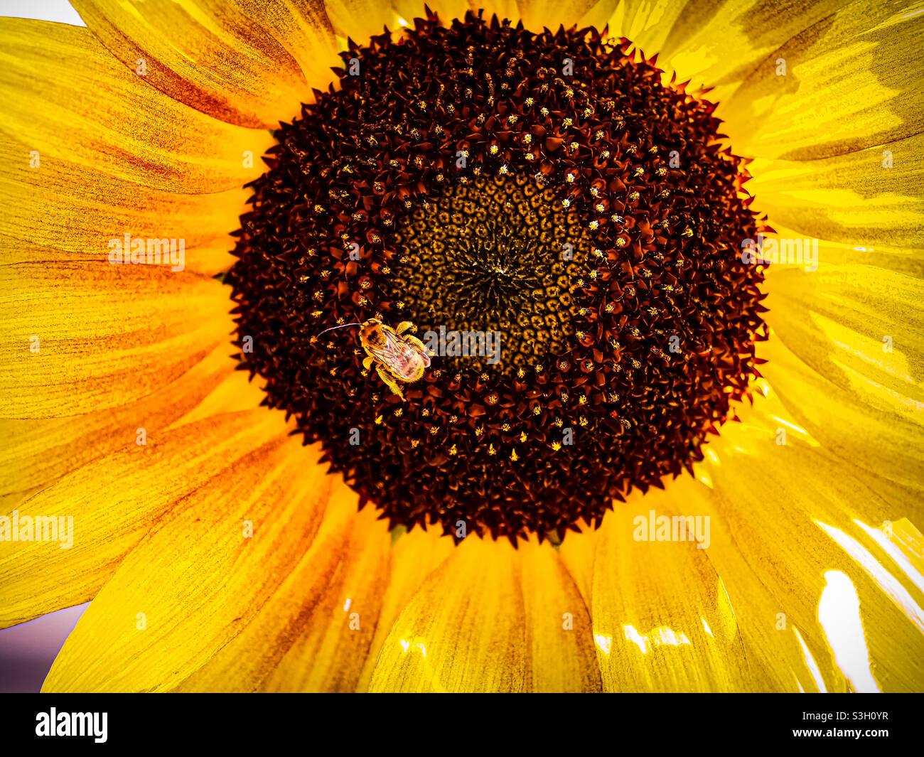 Aus der Nähe einer Sonnenblume, die von einer kleinen Schweißbiene zu Abend gegessen wird Stockfoto