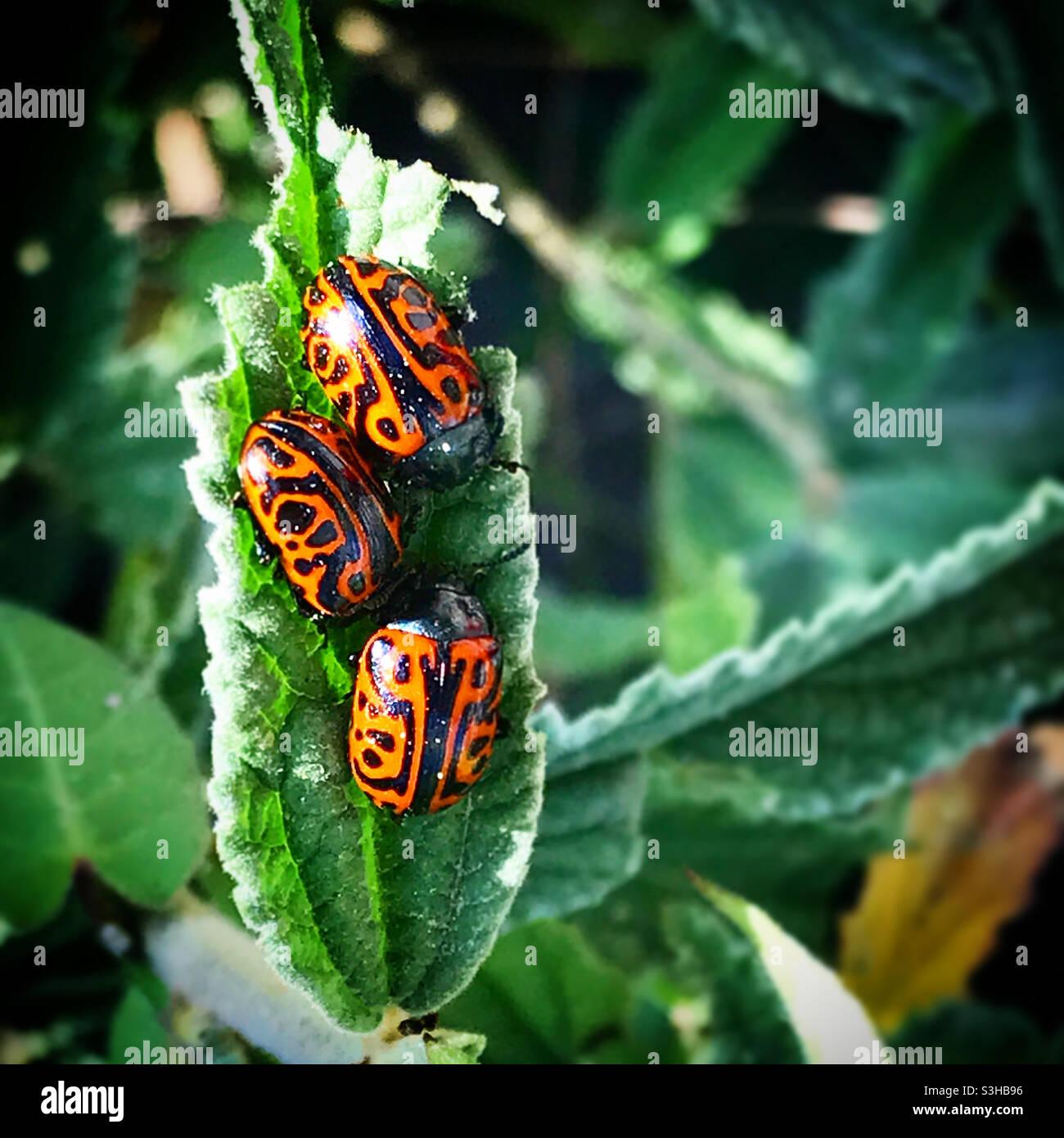 Drei Marienkäfer in einem grünen Blatt in einem Wald in Mexiko Stockfoto