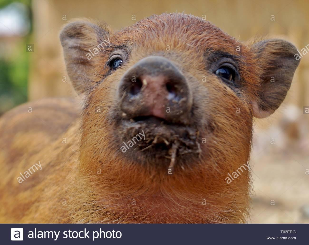 Kleines süßes Schweinchen sucht in einer Kamera Stockbild