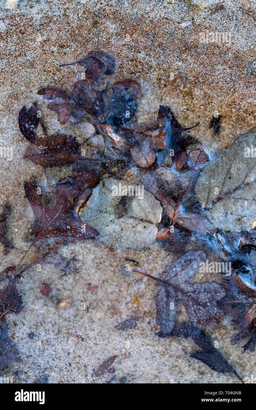 Nahaufnahme der gefallenen Blätter in ein Vogelbad, die aufgrund von kaltem Wetter eingefroren haben Stockbild