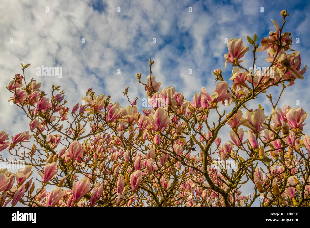Magnolie in voller Blüte auf dem Grundstück der Kirche St