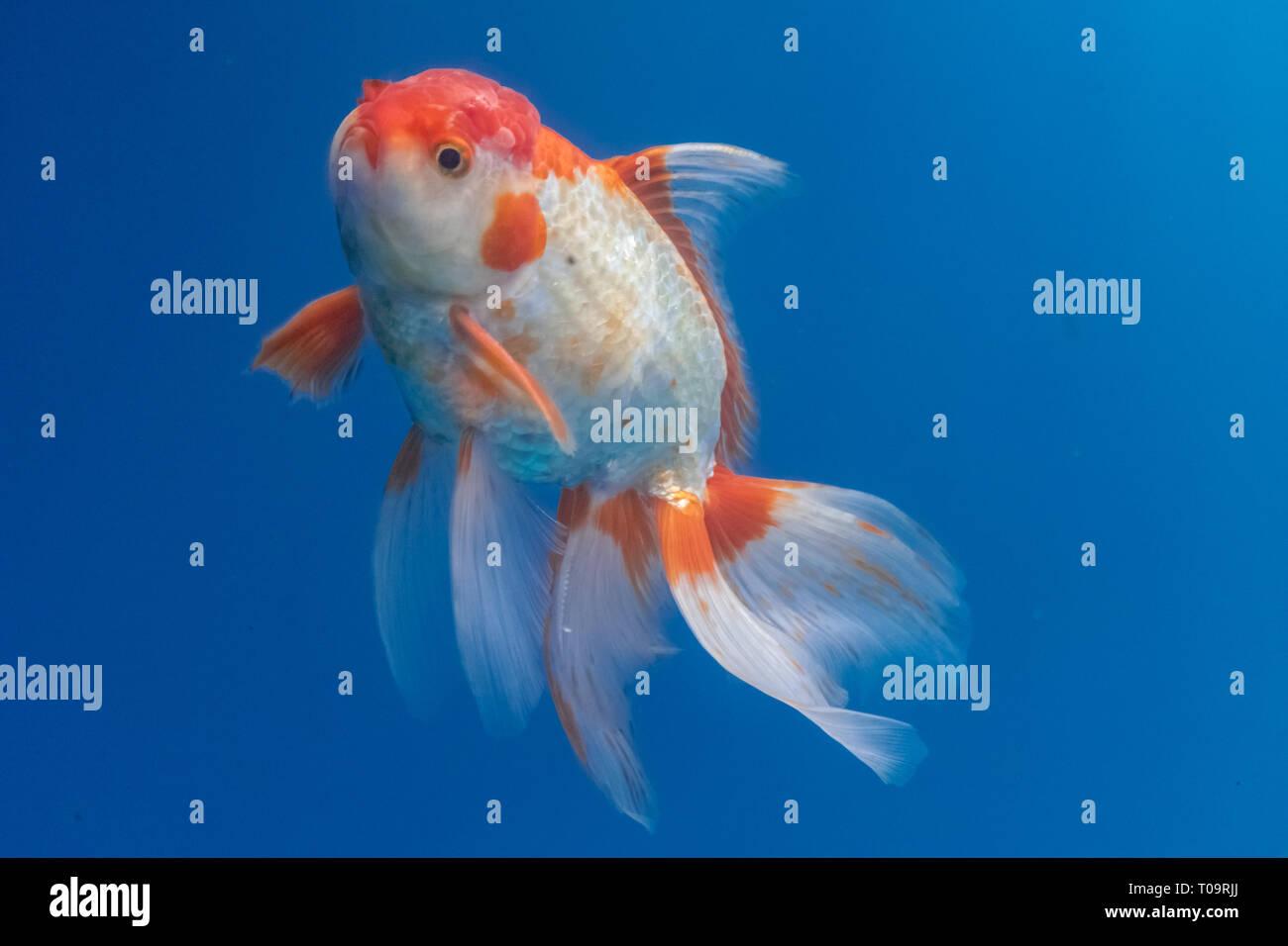 Goldfische datieren WebsiteDating Online-gauteng