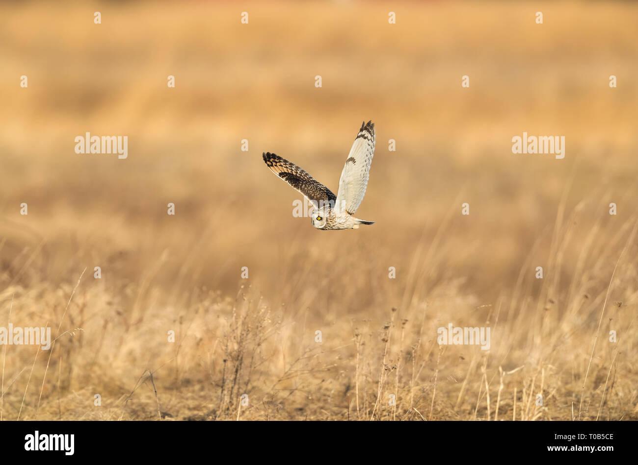 Sumpfohreule fliegt über die Farm Felder in die Suche nach der nächsten Mahlzeit Stockfoto
