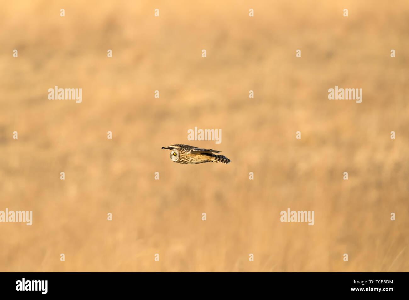 Sumpfohreule Tiefflug über das Feld auf der Suche nach der nächsten Mahlzeit Stockfoto