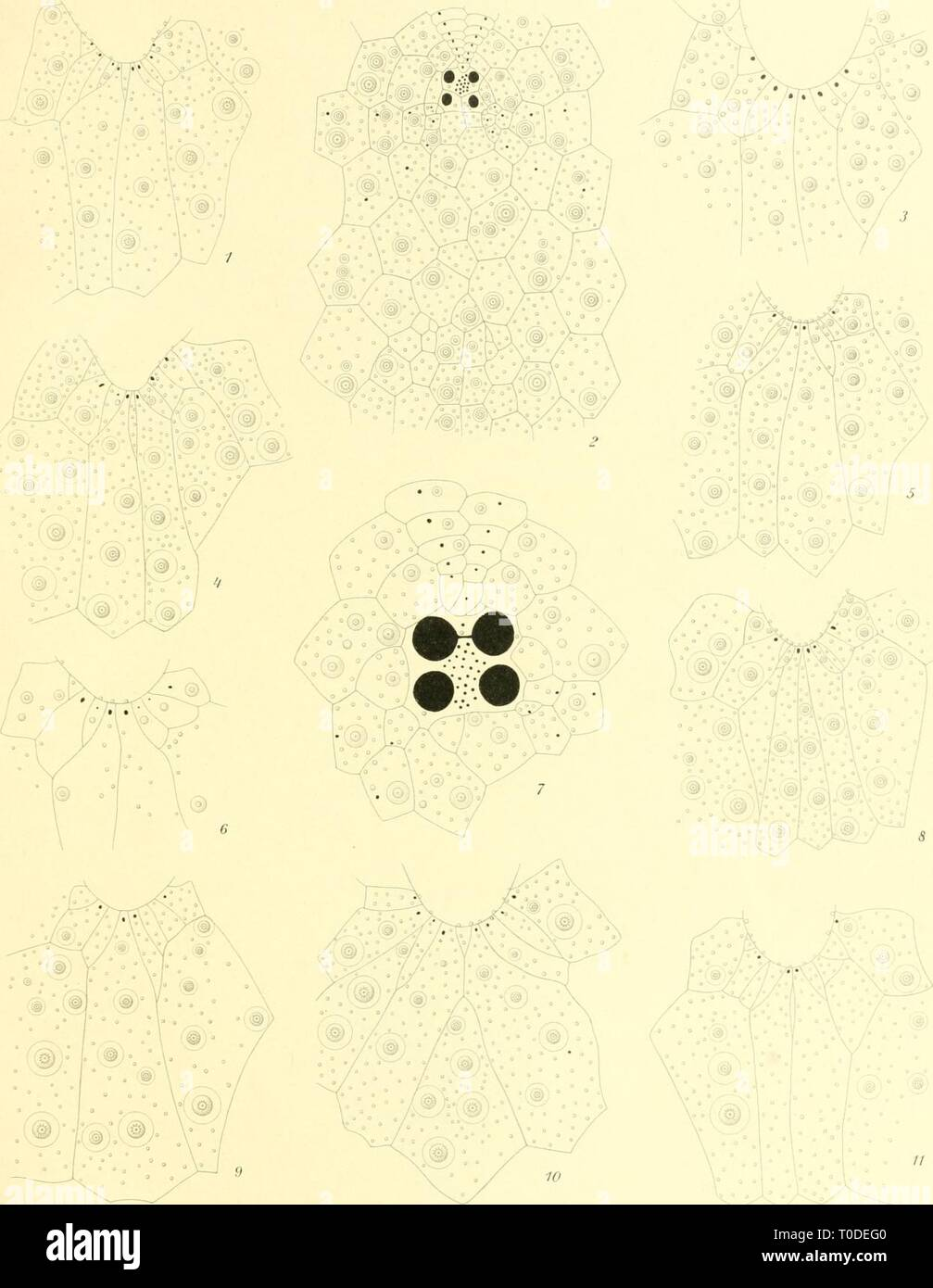 """Echinoidea (1903) Echinoidea echinoidea 00 mort Jahr: 1903 fil fjolf ich '.' xpt"""" ilitioitcit II'', Til. Mortensen, Echuioidea 11. Registerkarte. )"""" // / TTUkfoT - teKstn del. 13. 7. ronr - liilc^ia M'/ini/di Mrlsii., 'l (!. ist 11. Poni-la-IC-iid.leffrt.' 'I/II U"""". J'/i auf. Stockfoto"""